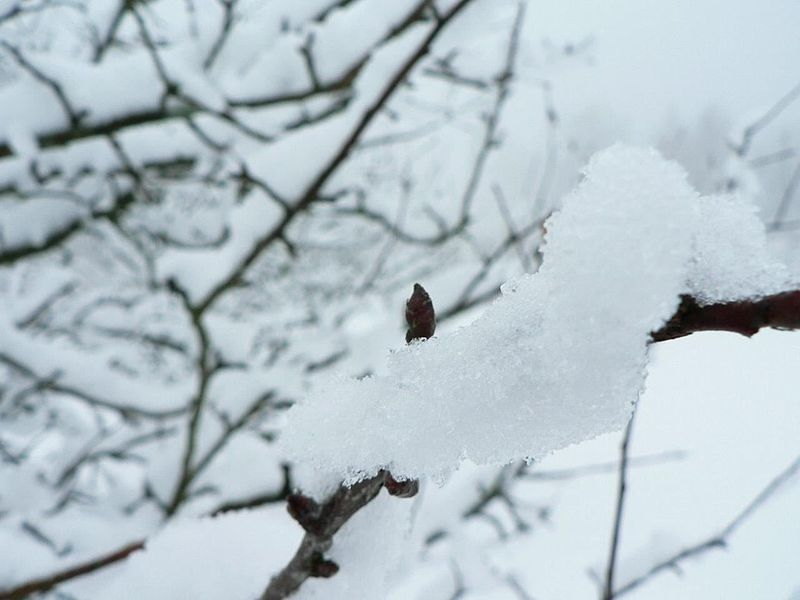 File:Snow branch ice.jpg