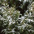 Snow falling on cedars 5.jpg