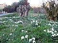 Snowdrops in the verge - geograph.org.uk - 695865.jpg