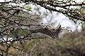 Social spider (Stegodyphus dumicola) nest.jpg