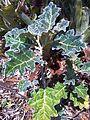 Solanum marginatum, habitus, a, Manie van der Schijff BT.jpg