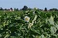 Solanum tuberosum* (7446874846).jpg