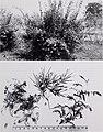 Some ornamental shrubs for the Tropics (1951) (20576399761).jpg
