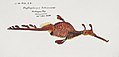 Southern Pacific fishes illustrations by F.E. Clarke 39.jpg
