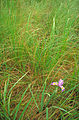 Southern blue flag iris flower with purple blue accents blossom in long grass.jpg