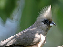 Speckled Mousebird RWD2.jpg