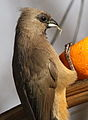 Speckled mousebird eating orange cells. (9663799177).jpg