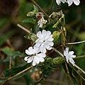 Sphaerophoria scripta-Sirphe porte plume-Silene latifolia M-Compagnon blanc-20170709 .jpg
