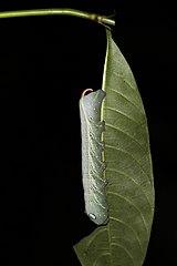 Sphinx moth caterpillar (Xylophanes crotonis).jpg