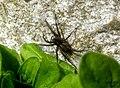 Spider (BG) (5655011239).jpg