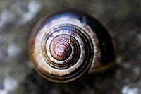 Spiral of Helicidae, Santiago de Compostela.jpg