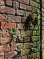 Spleenwort by the Mill Stream - geograph.org.uk - 801762.jpg