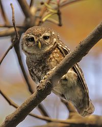 Spotted Owlet (Athene brama) - Flickr - Lip Kee (5).jpg