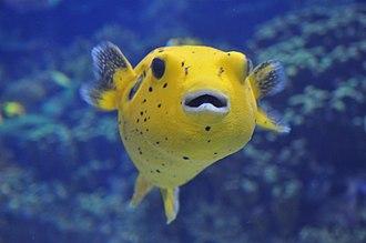 Molluscivore - The spotted pufferfish, a molluscivore