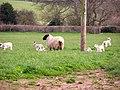 Spring Lambs - geograph.org.uk - 362110.jpg