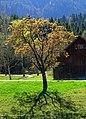 Spring tree - Flickr - Stiller Beobachter.jpg