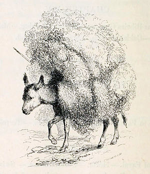 Burro da Ilha Graciosa - Engraving of a donkey on the island of São Miguel in the Azores, from: Joseph and Henry Bullar, A winter in the Azores; and a summer at the baths of the Furnas, 1841