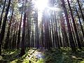 Standing tall - Fernworthy Forest - April 2015 - panoramio.jpg