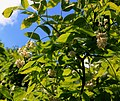 Staphylea pinnata Prague 2014 2.jpg