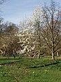 Star magnolia in Kew Gardens - geograph.org.uk - 362328.jpg