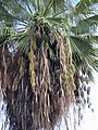 Starr-010914-0071-Washingtonia robusta-in fruit-Lahaina-Maui (23914025764).jpg