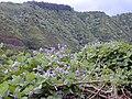 Starr-021012-0013-Pueraria montana var lobata-habit flowers with ridge-Honomanu Hana Hwy-Maui (24185120679).jpg