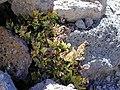Starr-021114-0068-Asplenium adiantum nigrum-habit-Science City-Maui (24444938682).jpg