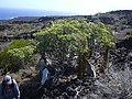 Starr-030716-0151-Cassytha filiformis-on Rauvolfia-Kanaio-Maui (24268961779).jpg