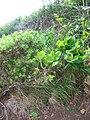 Starr-050419-6498-Terminalia catappa-habit-Mokolii-Oahu (24746174115).jpg