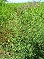 Starr-050517-1439-Bassia hyssopifolia-habit-Kakahaia-Molokai (24395274449).jpg
