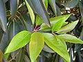 Starr-060503-8051-Lophostemon confertus-young leaves-Pololei Haiku-Maui (24567675540).jpg