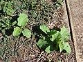 Starr-070215-4488-Solanum torvum-seedlings-Old macadamia nut orchards Waiehu-Maui (24514756049).jpg