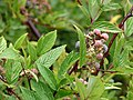 Starr-070908-9326-Rubus niveus-form b leaves and fruit-Polipoli-Maui (24799649231).jpg