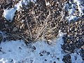 Starr-071223-0401-Atriplex canescens-habit with snow-Lee Canyon Rd-Nevada (30675621054).jpg