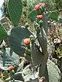 Starr-090519-8044-Opuntia ficus indica-flowering habit-Kula-Maui (24929376006).jpg