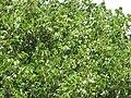 Starr-090806-4013-Pterocarpus indicus-leaves-Kahului-Maui (24945440336).jpg
