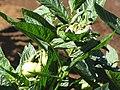 Starr-091020-8375-Solanum muricatum-flowers and fruit-Kula Experiment Station-Maui (24868470622).jpg