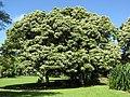 Starr-091104-8995-Aleurites moluccana-habit-Kahanu Gardens NTBG Kaeleku Hana-Maui (24962142726).jpg