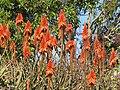 Starr-091209-0424-Aloe arborescens-flowers-Kula-Maui (24365121313).jpg