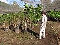Starr-110209-0748-Polyscias guilfoylei-habit with Kim-Resort Management Group Nursery Kihei-Maui (24447670983).jpg