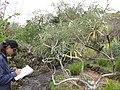 Starr-110307-2659-Banksia speciosa-flowering habit with Kim-Kula Botanical Garden-Maui (25078496385).jpg