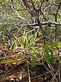Starr-120425-4825-Dianella sandwicensis-form multipedicellata-Waikapu Valley-Maui (25021484212).jpg