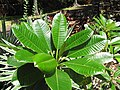 Starr-120522-6263-Plumeria obtusa-leaves-Iao Tropical Gardens of Maui-Maui (25117062446).jpg