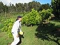 Starr-130605-2265-Citrus sinensis-Navel orange grove with Kim-Ehu Rd Piiholo-Maui (25118256511).jpg