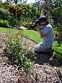 Starr-170224-0932-Brassica rapa var parachinensis-flowering in veggie garden with Sumio photographing-Hawea Pl Olinda-Maui (32567119153).jpg