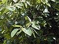 Starr 010420-0099 Ficus benghalensis.jpg