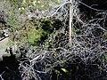 Starr 020221-0034 Rubus glaucus.jpg