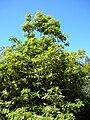 Starr 050216-4055 Pittosporum undulatum.jpg