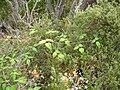 Starr 050815-7391 Rubus glaucus.jpg
