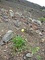 Starr 051003-7945 Oenothera stricta subsp. stricta.jpg